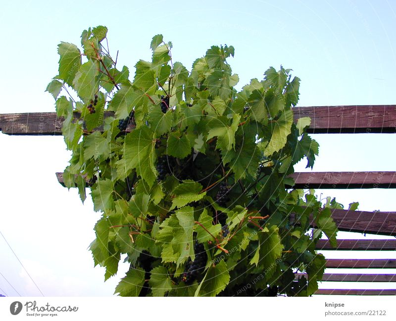 Wood Vine Bunch of grapes