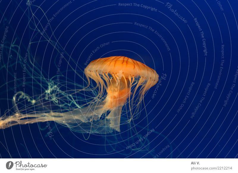 Medusa 2 Water Jellyfish Aquarium 1 Animal Swimming & Bathing Dive Blue Orange Black Colour photo Interior shot Close-up Deserted Night Artificial light Light