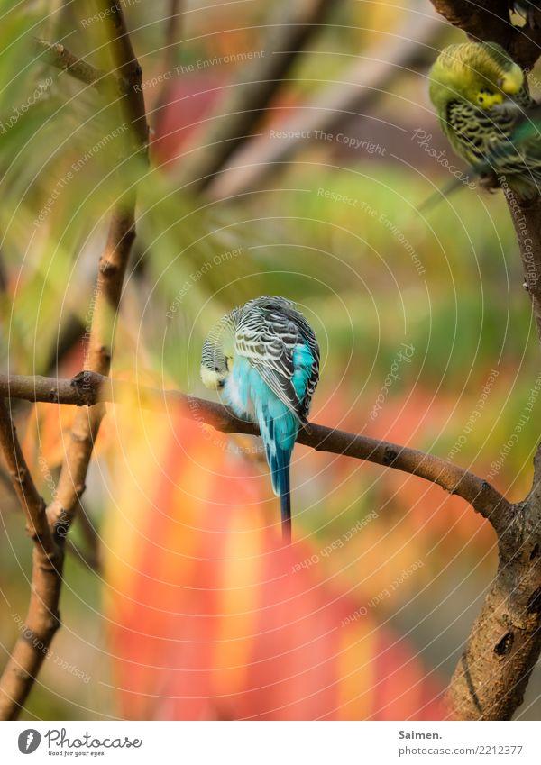 Blauer Wellensittich Vogel Baum Ast Tier Lebewesen Tierwelt bunt putzen reinigen sich säubern Vögel
