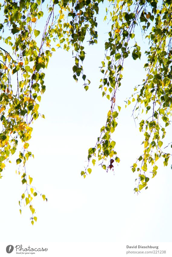 Nature White Green Plant Leaf Autumn Air Growth Beautiful weather Branch Seasons Twig Hang Autumn leaves Cloudless sky Willow tree