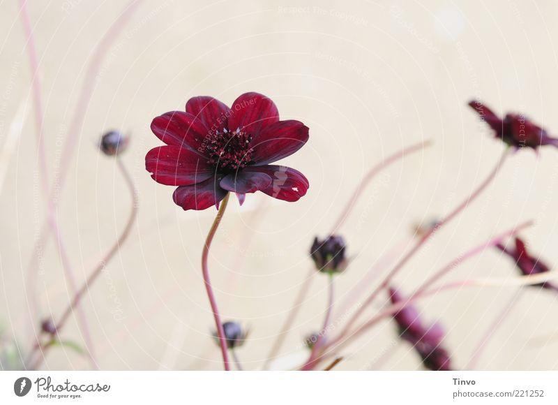 Beautiful Flower Plant Red Blossom Pink Stalk Blossoming Fragrance Bud Blossom leave Delicate Flower stem