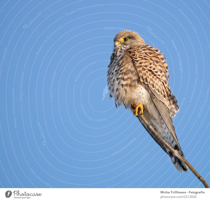 Kestrel Portrait Environment Nature Animal Sky Cloudless sky Sun Sunlight Beautiful weather Tree Bird Animal face Wing Claw Falcon Bird of prey Eyes 1 Observe