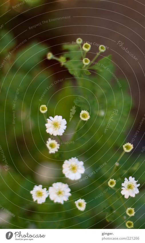 autumn flowers Nature Plant Flower Leaf Blossom Blossoming Green White Small Growth Worm's-eye view Blur Copy Space top Colour photo Subdued colour