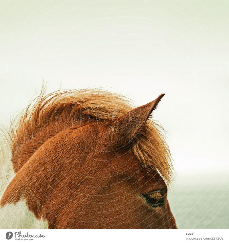 section Beautiful Nature Animal Sky Wind Farm animal Wild animal Horse Stand Wait Esthetic Natural Moody Mane Iceland Pony Head Pinto Ear Colour photo