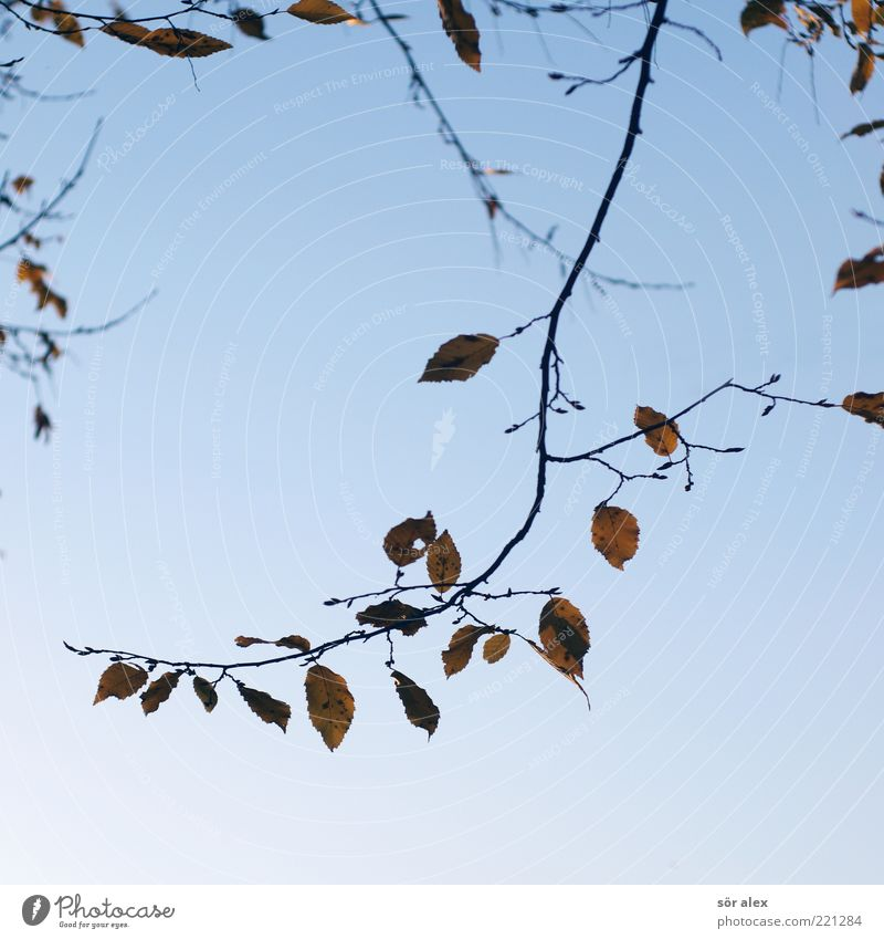 Leaf loss II Nature Sky Cloudless sky Autumn Branch Faded Blue Sadness Autumn leaves Autumnal Delicate October Suspended Change Transience Seasons Colour photo