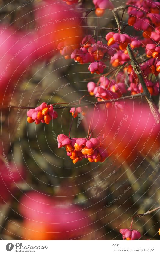 Autumnal play of colours Environment Nature Plant Bushes Authentic Small Natural Beautiful Orange Pink Berries Colour photo Exterior shot Detail Day Light