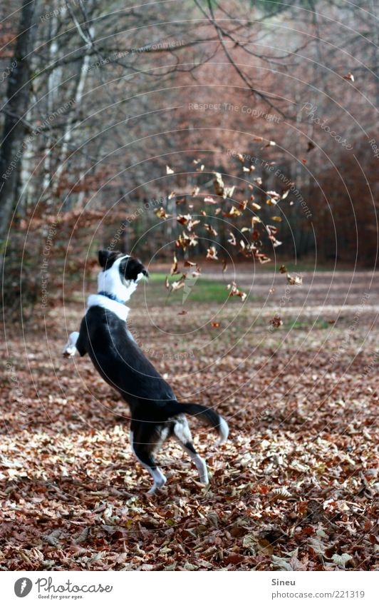 leaf dance Autumn Leaf Forest Dog 1 Animal Catch Playing Jump Funny Crazy Joy Happy Happiness Contentment Joie de vivre (Vitality) Love of animals Movement