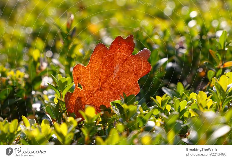 Close up of brown Autumn oak leaf on green boxwood Nature Plant Sunlight Weather Beautiful weather Tree Leaf Oak leaf Garden Park Forest Brown Yellow Gold Green