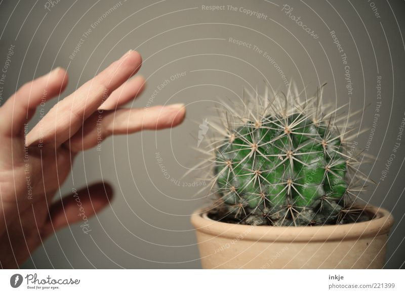 fears of contact Hand Fingers Cactus Pot plant Exotic Barrel cactus Thorn Green thumb Touch Threat Natural Point Thorny Wild Attentive Curiosity Surprise Pain