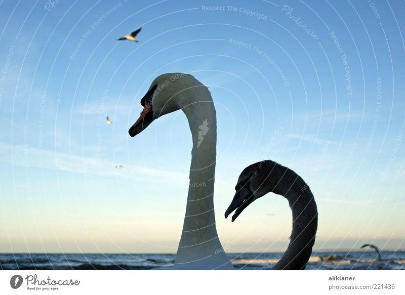 smaltalk Environment Nature Animal Elements Water Waves Coast Baltic Sea Ocean Wild animal Bird Swan Pair of animals Baby animal Animal family Bright Near Wet