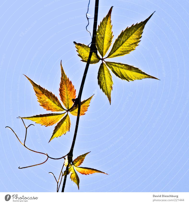 Nature Blue Green Plant Leaf Autumn Beautiful weather Branch Stalk Autumn leaves Difference Cloudless sky Blue sky Autumnal Delicate Autumnal colours