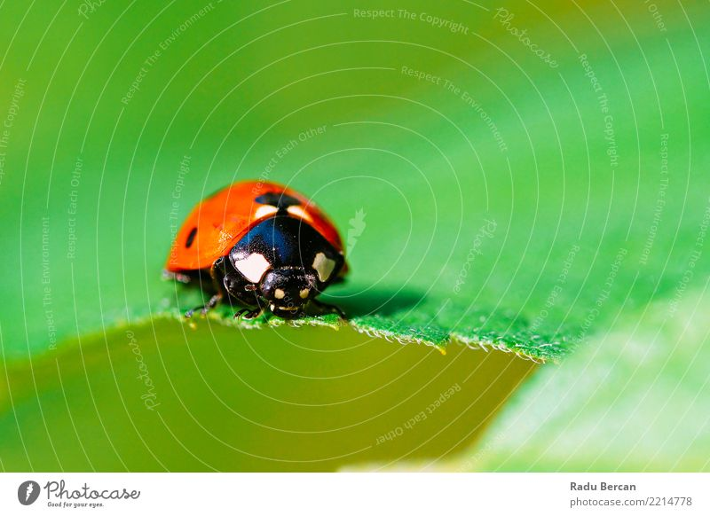 Red Ladybug Insect On Green Leaf Macro Nature Plant Animal Summer Garden 1 Crawl Simple Near Cute Multicoloured Black Colour Environment Bug Ladybird