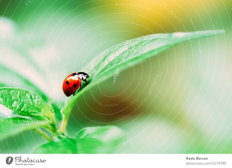 Red Ladybug Insect On Green Leaf Macro Environment Nature Plant Animal Summer Bushes Garden Wild animal 1 Simple Natural Multicoloured Black Colour Bug Ladybird