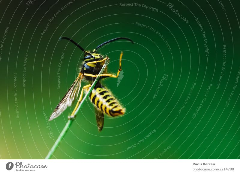 European Common Wasp (Vespula Vulgaris) On Stick Nature Plant Summer Colour Green Animal Black Yellow Environment Small Garden Wild animal To hold on Insect Bee