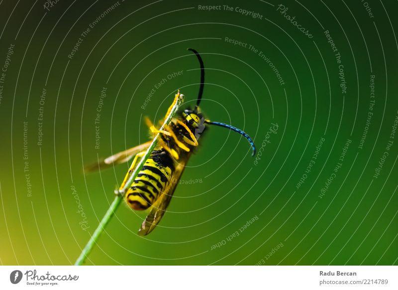 European Common Wasp (Vespula Vulgaris) On Stick Environment Nature Plant Animal Summer Garden Wild animal Bee 1 To hold on Hang Small Multicoloured Yellow
