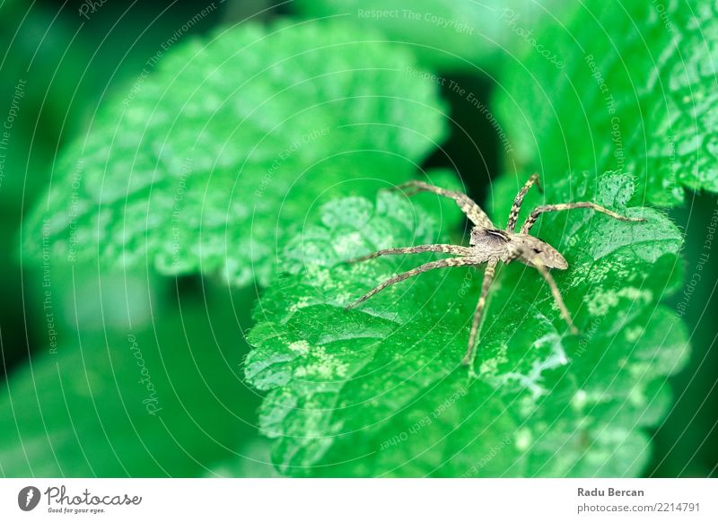 Nursery Web Spider Sitting On Green Leaf In Garden Nature Plant Summer Colour Animal Environment Gray Brown Fear Wild animal Bushes Dangerous Observe