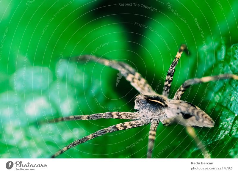 Nursery Web Spider Sitting On Green Leaf In Garden Nature Plant Summer Colour Animal Environment Small Gray Wild Fear Park Field Wild animal