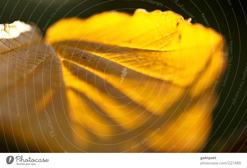 Leaf Yellow Autumn Bright Gold Illuminate Rachis Colour Guide Sunbeam Translucent