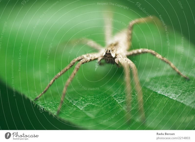 Nursery Web Spider Sitting On Green Leaf In Garden Nature Plant Summer Colour Animal Environment Gray Brown Fear Wild animal Bushes Discover Creepy