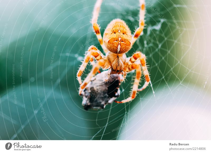 European Cross Spider (Araneus Diadematus) On Web Eating Prey Environment Nature Animal Wild animal Animal face 1 2 To feed Feeding Aggression Threat Creepy