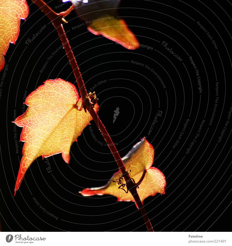 Nature Plant Red Leaf Autumn Bright Environment Gold Natural Illuminate Rachis Twigs and branches Part of the plant