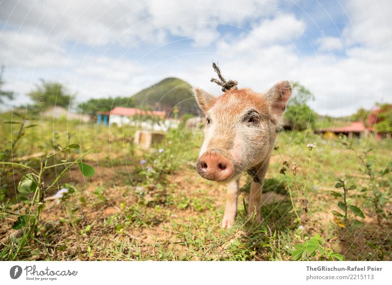 Happy Pig Animal Pet Farm animal 1 Cuddly Blue Brown Green Swine piggy Cute Sweet Be confident Bacon Nose Snout Living thing Pasture Caress Bristles