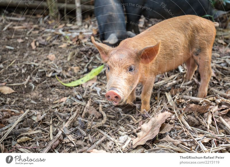 pig Animal Farm animal 1 Brown Black Beautiful Piglet Swine Living thing Nostril Ear Curiosity Cute Bristles Wood Colour photo Exterior shot Deserted