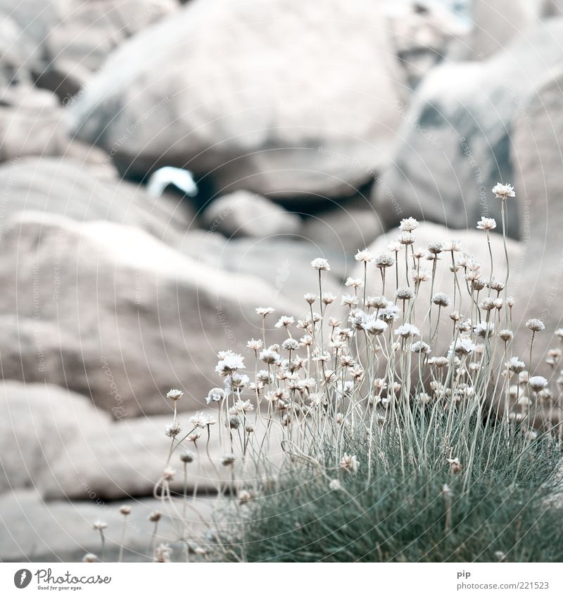 Nature White Flower Plant Blossom Grass Rock Multiple Herbs and spices Stalk Dry Blade of grass Shriveled Sparse Stony