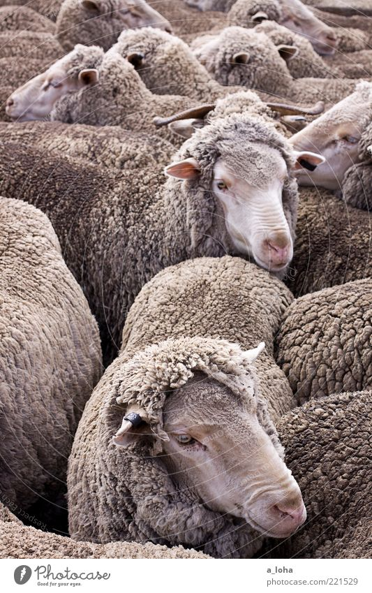Animal Movement Warmth Together Wait Dirty Group of animals Animal face Observe Natural Pelt Touch Many Sheep Emotions Herd