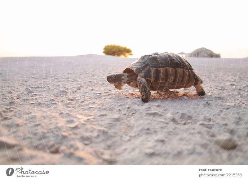 Turtle on the run Beach Nature Earth Animal Wild animal Scales 1 Movement Walking Old Cool (slang) Love of animals Serene Patient Indifferent Comfortable