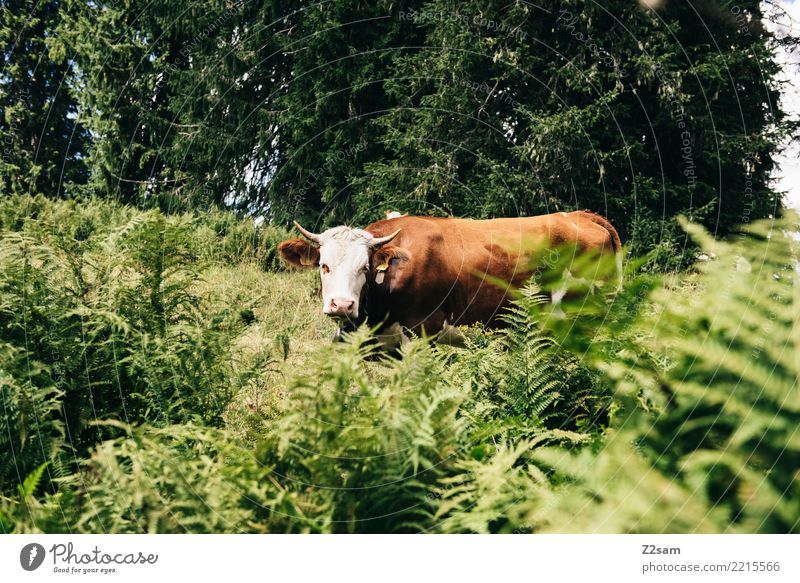 Cow in the Bavarian Alps Hiking Environment Nature Landscape Summer Beautiful weather Grass Bushes Forest Mountain Farm animal Looking Threat Large