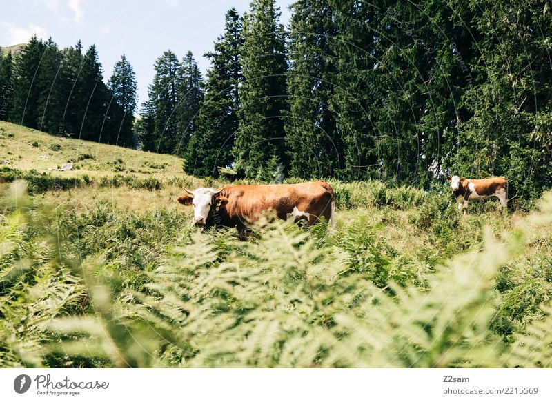 Cows on the Spitzingberg in Upper Bavaria Mountain Nature Landscape Summer Bushes Forest Alps Farm animal 2 Animal Looking Stand Together Natural Curiosity