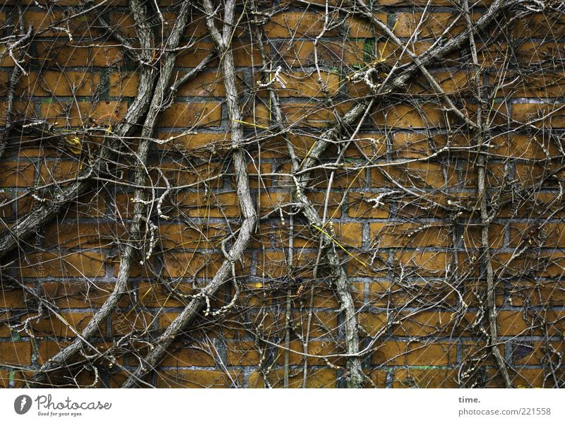 hibernation Environment Nature Plant Autumn Bushes Wall (barrier) Wall (building) Stone Wood To hold on Growth Cold Brown Yellow Chaos Vine Leafless Muddled