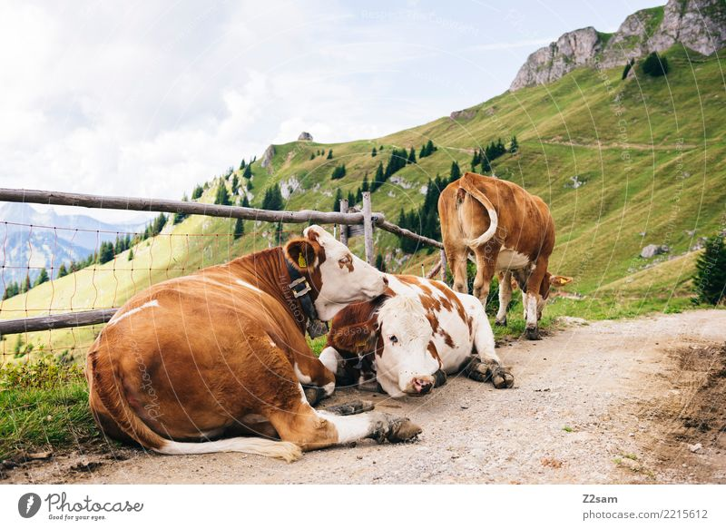 cow cuddles Mountain Environment Nature Landscape Sky Summer Alps Peak Traffic infrastructure Cow 3 Animal Relaxation Lie Happy Natural Brown Green Trust