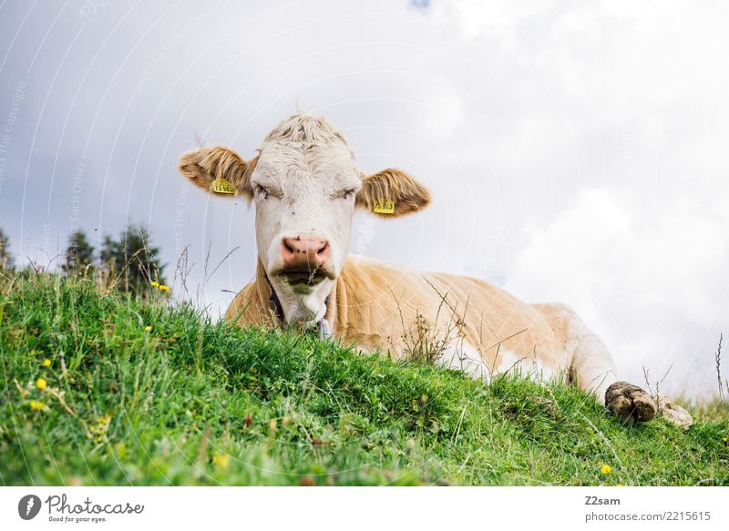 grumpy Hiking Environment Nature Landscape Summer Beautiful weather Meadow Alps Mountain Peak Cow Observe Sleep Aggression Sustainability Natural Green Serene
