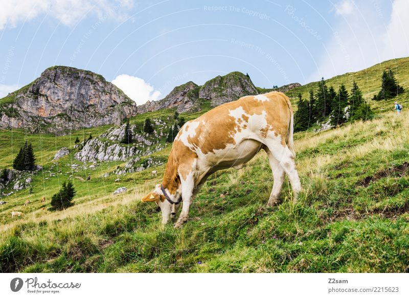 MUHHH!!! Mountain Hiking Environment Nature Landscape Sky Summer Beautiful weather Meadow Alps Cow To feed Stand Happy Sustainability Natural Brown Green