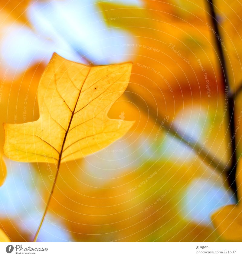 Picture for cloudy days Environment Nature Plant Air Sky Autumn Climate Beautiful weather Tree Leaf Old To dry up Esthetic Blue Brown Yellow Gold tulip tree