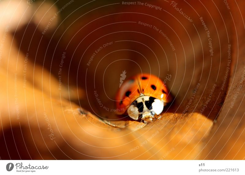 Leaf Animal Autumn Warmth Sleep Seasons To enjoy Sunbathing Beetle Ladybird Autumn leaves Spotted Insect Motion blur Good luck charm