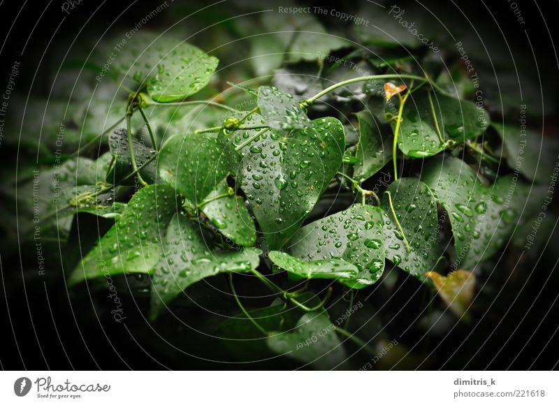 ivy leaf Environment Nature Plant Drops of water Autumn Weather Rain Ivy Leaf Growth Dark Fresh Wet Green Black Colour raindrops Background picture Botany