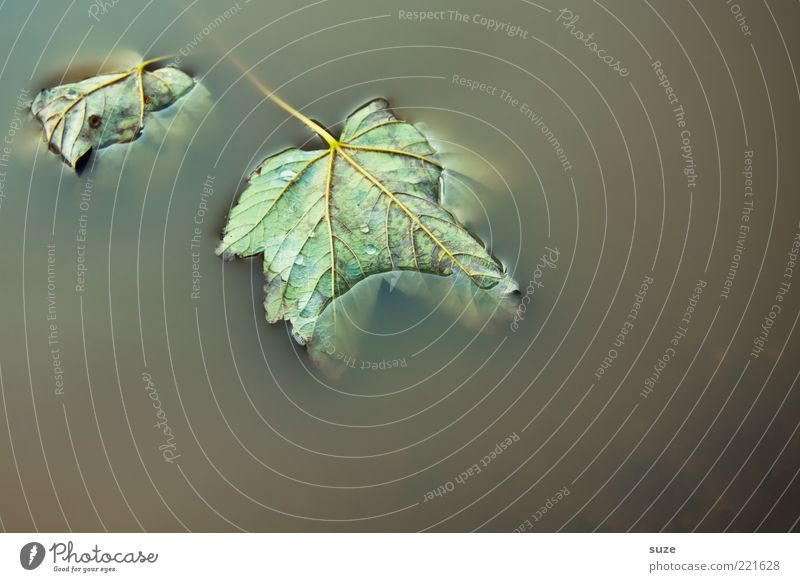 Water Leaf Dark Autumn Wet Gloomy Lie Stalk Puddle Dreary Rachis Autumn leaves Maple tree Float in the water Surface of water Early fall