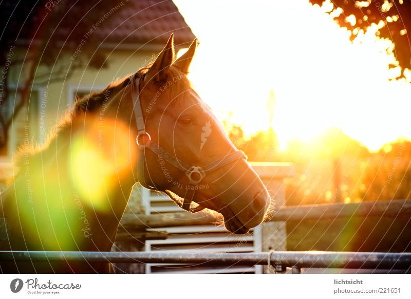 Horse in backlight Calm Sun Equestrian sports House (Residential Structure) Stand Pasture Dazzle Lens flare Glare effect Halter Horse's head Fence Relaxation