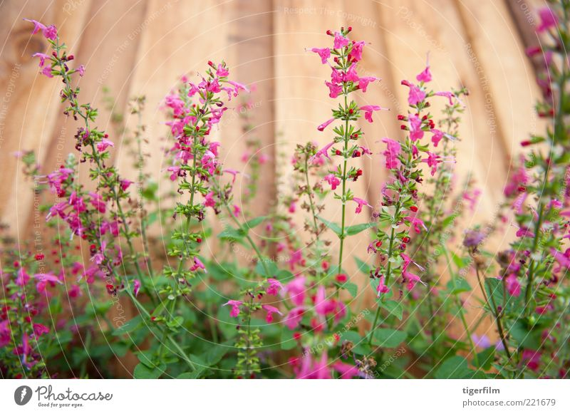 beautiful pink red salvias against a fence Flower Plant Red Garden Wood Line Pink Herbs and spices Stalk Fence Vertical Board Sage