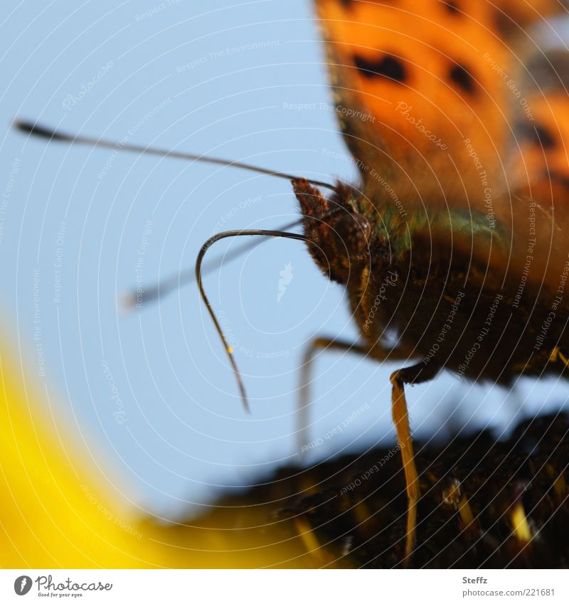 Nature Blue Summer Animal Yellow Small Brown Legs Orange Sit Wing Living thing Pelt Insect Near Butterfly