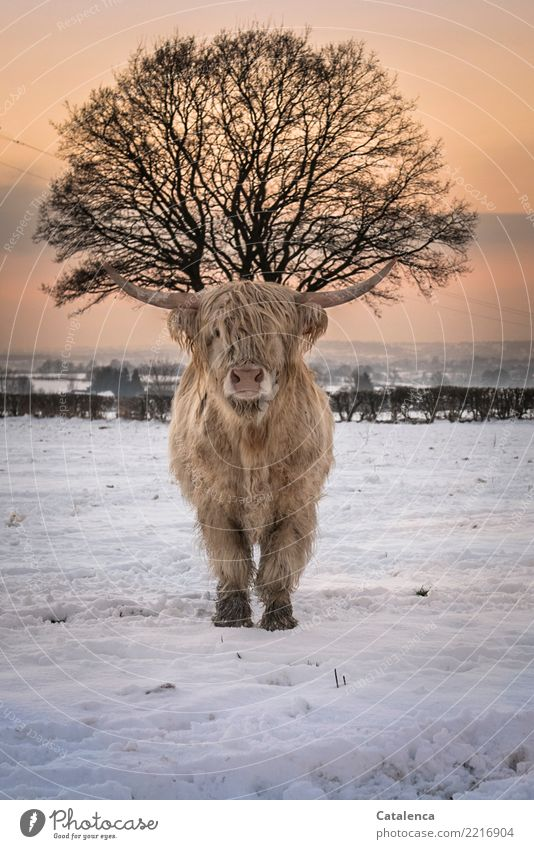 headdress Nature Sky Horizon Winter Climate Beautiful weather Snow Tree Bushes Hedge Meadow Field Cattle highland cattle Cow 1 Animal Observe Stand Cold