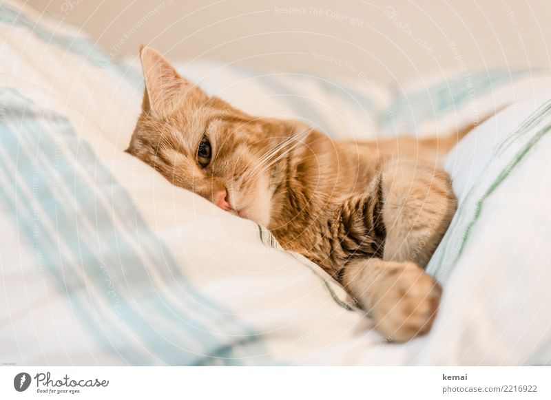 Cat Relaxation Animal Calm Lifestyle Eyes Living or residing Flat (apartment) Contentment Leisure and hobbies Lie Cute Curiosity Bed Well-being Harmonious