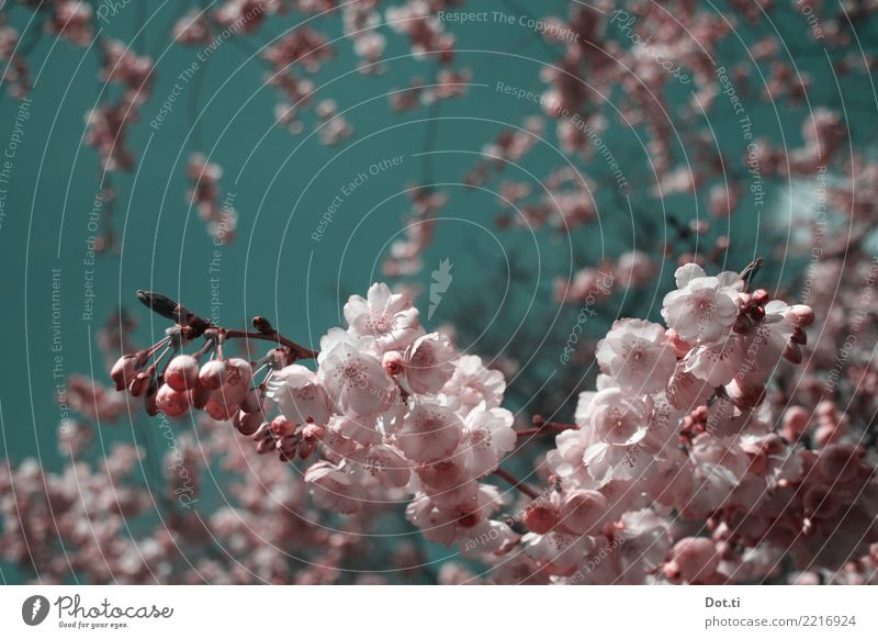 en fleurs Nature Plant Sky Cloudless sky Spring Beautiful weather Tree Blossom Pink Spring fever Idyll Pure Cherry blossom Cherry tree Bud Lush Colour photo