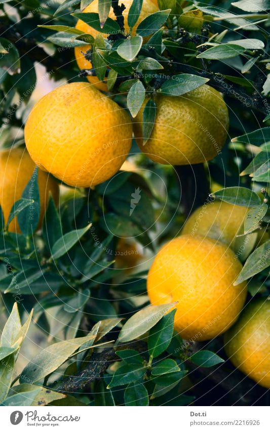 mandarin tree Fruit Nature Plant Tree Leaf Agricultural crop Fresh Healthy Natural Green Orange Citrus fruits Tropical fruits Mature Mediterranean Colour photo