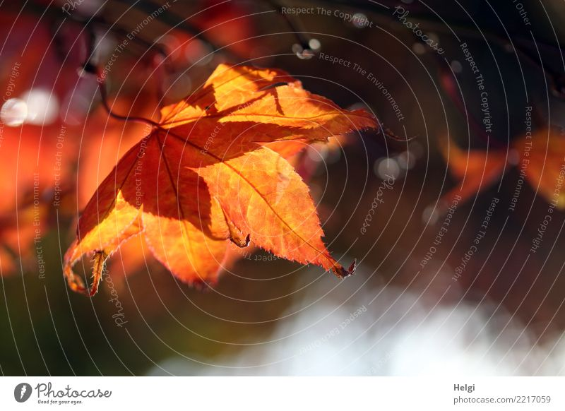 Autumn (t) Environment Nature Plant Beautiful weather Tree Leaf Rachis Garden Hang Illuminate To dry up Natural Brown Yellow Gray Orange Moody Esthetic