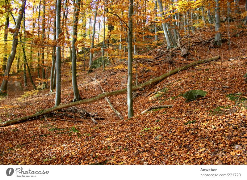 autumn forest Environment Nature Landscape Plant Earth Autumn Beautiful weather Tree Beech tree Forest Habichtswald Emotions Moody Calm Hesse Nordhessen Germany
