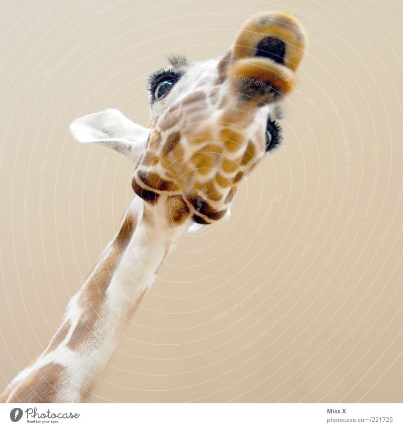 kiss Animal Wild animal 1 Exotic Funny Giraffe Muzzle Neck Eyes Ear Pelt Head Copy Space bottom Large Colour photo Close-up Deserted Neutral Background